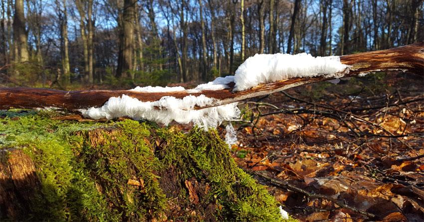 ijshaar - een zeldzaam natuurverschijnsel. Bevroren waterstraaltjes uitgescheiden en naar buiten geperst door schimmels in dood hout.